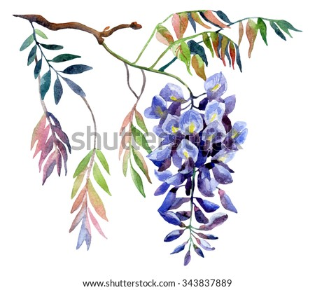 Wisteria flower. Watercolor wisteria card. Hand painted illustration on isolated white background - stock photo