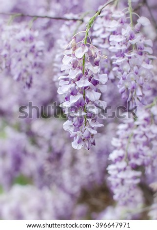Wisteria flowers blooming in spring
