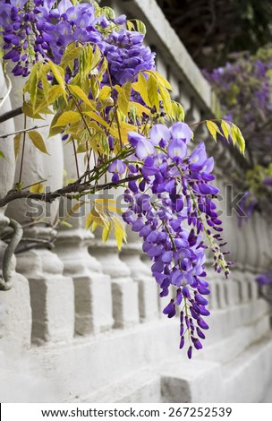Wisteria in bloom on railing in Charleston, South Carolina. - stock photo