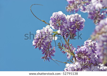 Wisteria  is a genus of flowering plants in the pea family - stock photo