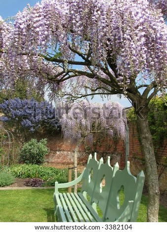 Wisteria Tree - stock photo