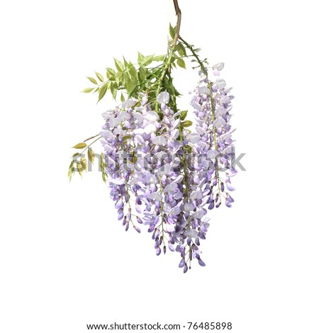 Wisteria tree branch with beautiful flowers over pure white background. Space for text. - stock photo