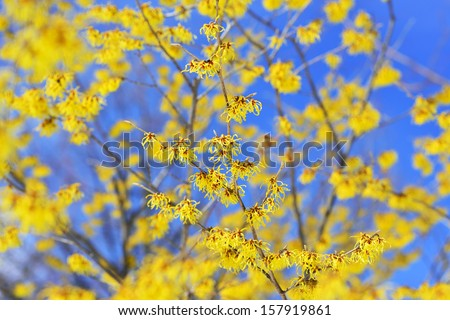 Witch Hazel, blooming in the winter - stock photo