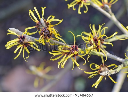 Witch Hazel Branch - stock photo