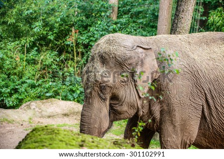 With hay covered hungry Asian Elephant (Elephas maximus)