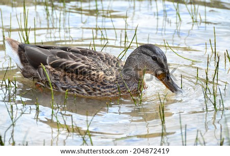 With help of the wide oblong beak ducks feeds in the shallows. A flock of semi-wild ducks feeds on the lake - stock photo