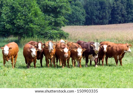 With herd bull in the pasture - stock photo