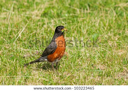 With its beak full of larva and worms, a bright orange breasted robin continues to hunt the grass for more food.