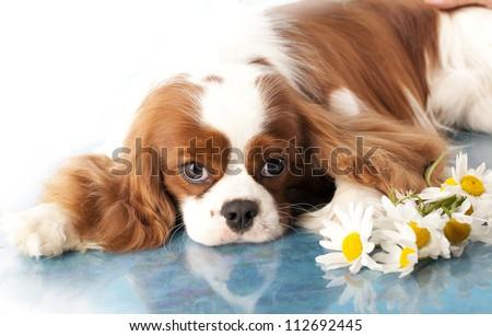 with sad spaniel eyes, Cavalier king charles spaniel dog and flowers chamomile - stock photo