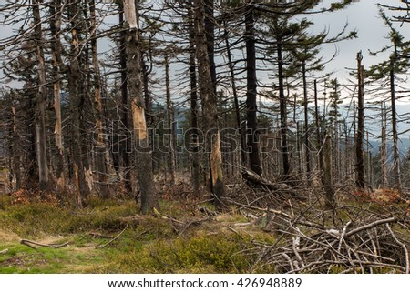 withered broken, fallen trees on the peaks of the Silesian Beskid in the area Malinowska Rocks in Poland - stock photo