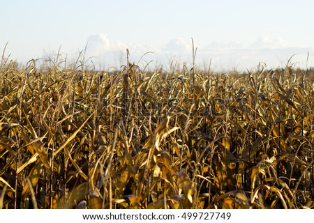 Withered golden color cornfield in autumn season