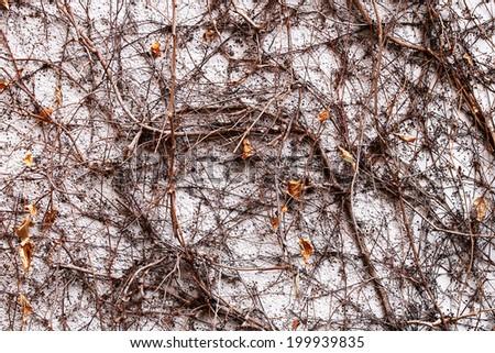 Withered ivy that crawled on the wall - stock photo