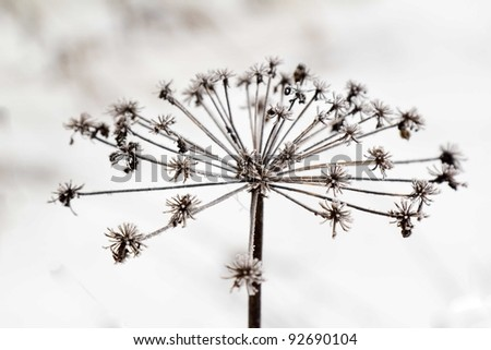 withered plant with frost in winter - stock photo