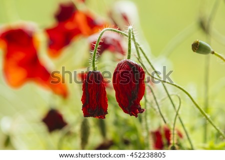 Withered poppy flowers, warm toning