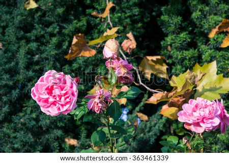 Withered rose on the cemetery in the Altona district of Hamburg. It is a rural cemetery in autumnal colored, in the north of the borough Hamburg Altona - stock photo