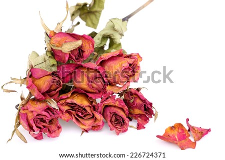 Withered roses and petals over white background. - stock photo