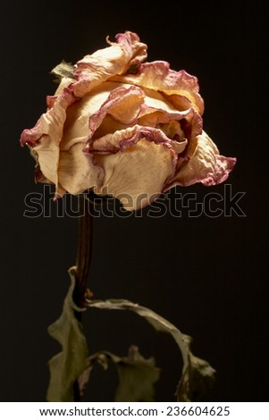Withered roses on black background - stock photo
