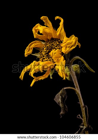Withered sunflower on black background,isolated - stock photo
