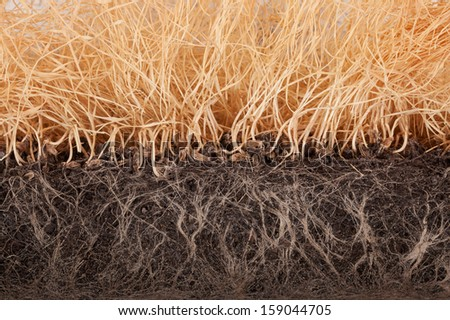 Withered wheat germ, slice with roots in the ground close-up - stock photo