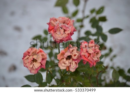 Withering Pink Roses in Winter Snow
