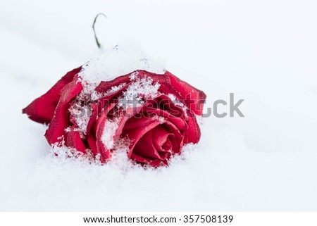 withering red rose on white snow