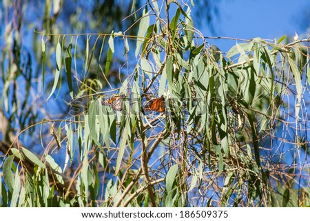 Within Natural Bridges State Beach, in Santa Cruz, you'll find the Monarch Butterfly Nature Preserve, a grove of eucalyptus trees where thousands of Monarch Butterflies spend the winter each year. - stock photo