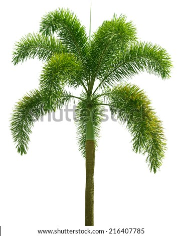 Wodyetia (Foxtail Palm). Palm tree isolated on white background - stock photo