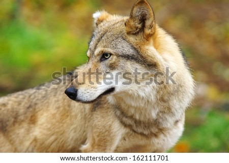 Wolf (Canis lupus)                                 - stock photo