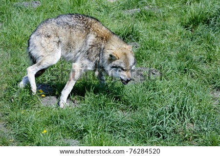 wolf, canis lupus - stock photo