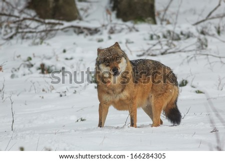wolf chewing prey - stock photo