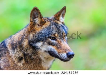 wolf close up - stock photo