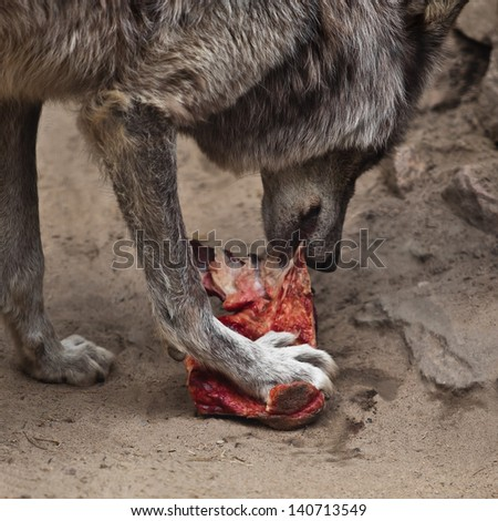 Wolf closeup eating a piece of meat - stock photo