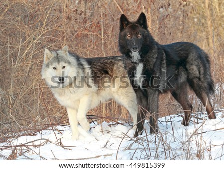 Wolf dogs - stock photo