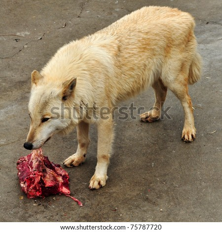 Wolf eating raw meat. - stock photo