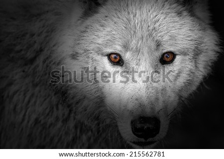 wolf eyes in black and white detail - stock photo
