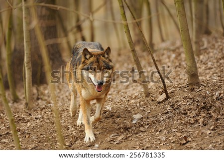 Wolf from the front running in the forrest - stock photo