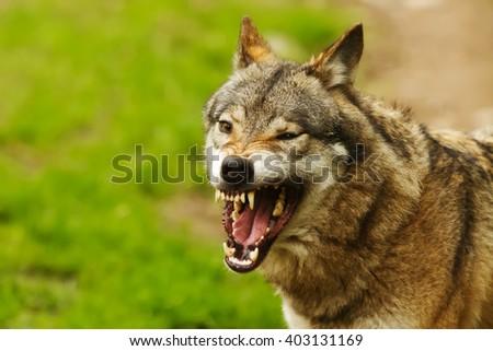 wolf grin - stock photo