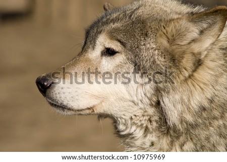 Wolf head - stock photo