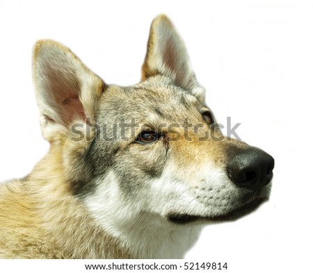 wolf head - stock photo