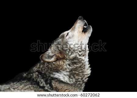 Wolf howl. Isolated on a black background - stock photo
