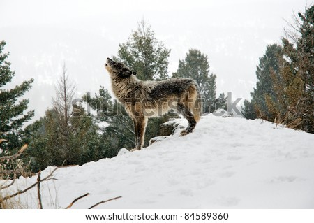 Wolf howling on snowy hill - stock photo