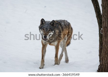 wolf in detail the snowy scenery - stock photo