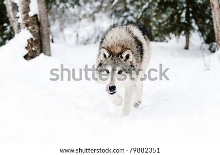 Wolf in fresh snow - stock photo