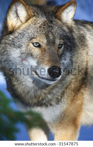 wolf in sweden - stock photo