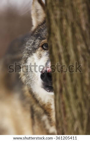 wolf is looking us behind the tree - stock photo