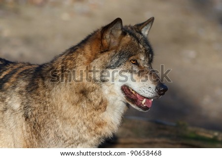 wolf is observing - stock photo