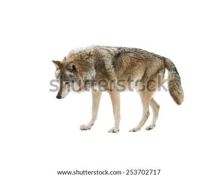 stock-photo-wolf-isolated-on-white-backg