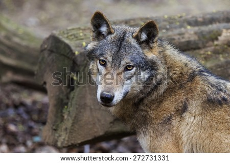 wolf look - stock photo