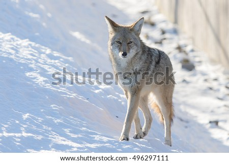 Wolf looking at camera