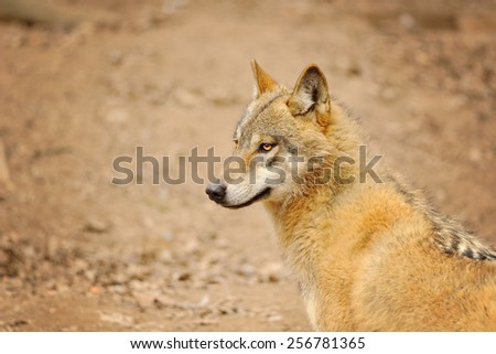 Wolf looking to the left with brown ground on background - stock photo